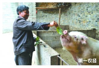 饲喂猪的三种方法,你知道吗
