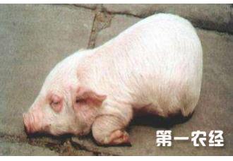 猪产后缺硒症的诊治