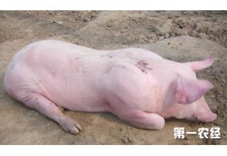 油猪病的原因及防治措施