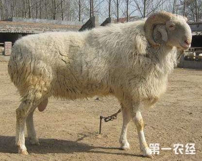 这是一张春季谨防羊链球菌病的配图