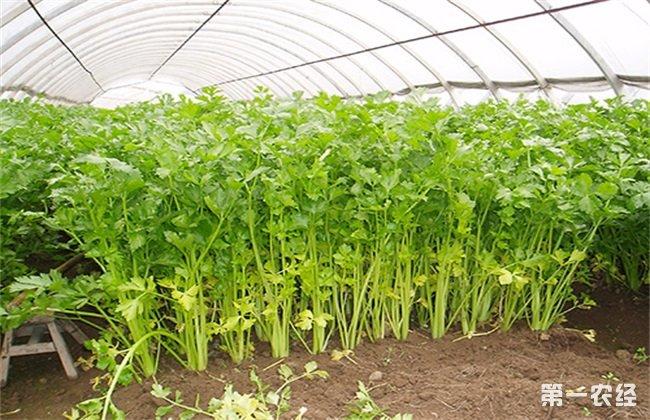 芹菜冬季 种植技术