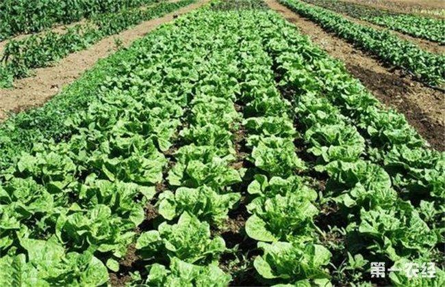 生菜 科学施肥技术