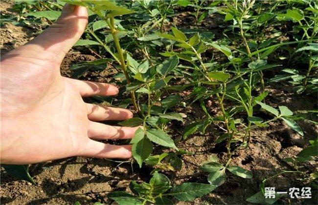 花椒死苗原因及防治方法