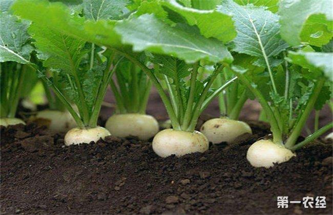 春季露地萝卜的田间管理