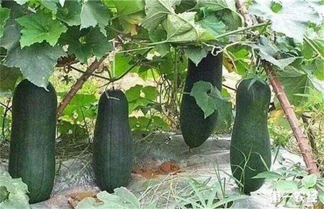 冬瓜 高产施肥技术