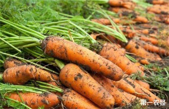 胡萝卜 高产施肥技术