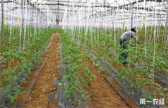 番茄种植 土肥水 管理技术