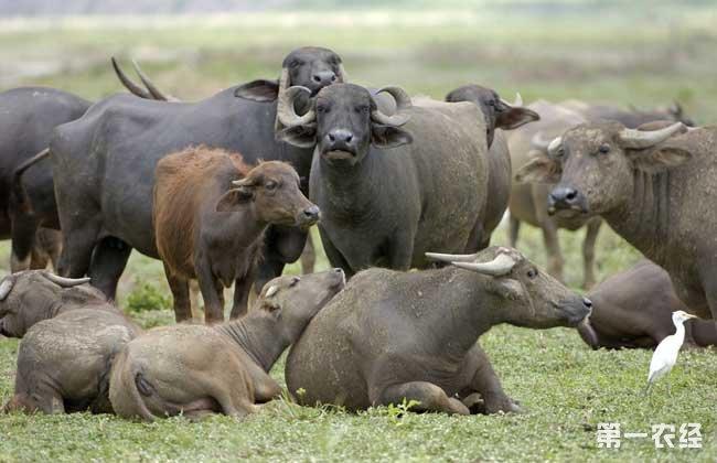 牛的年龄怎么看