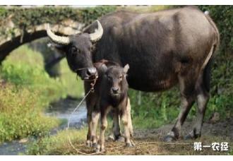 水牛的饲养方法是什么 什么比较好!