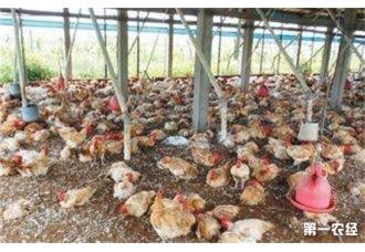 夏季养鸡应该如何把控流感呢 你知道吗