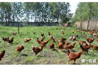 散养鸡的感冒应该如何防治呢 你知道吗