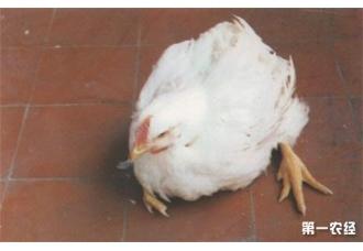 小鸡无法站立的原因有什么 如何解决!