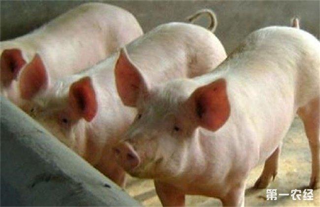 夏季养猪掉膘
