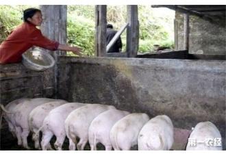 酒糟喂猪的好处和注意事项是什么呢