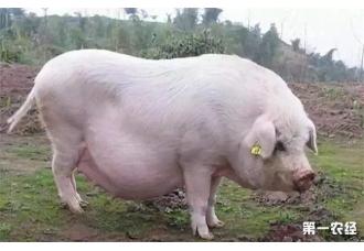 母猪胀气的原因是什么呢 这些你知道吗?