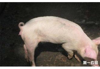 猪饲料中毒或药物中毒的解决办法是什么呢