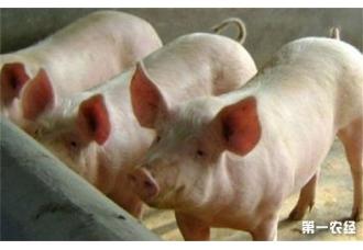 夏季养猪掉膘 应该如何防治呢
