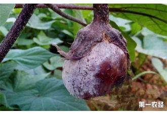 茄子出现烂果要怎么去预防