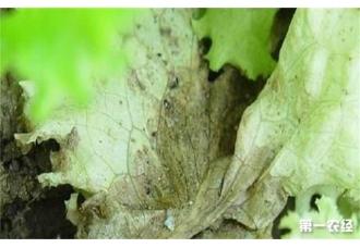 种植生菜出现灰霉病该怎么去预防