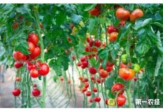 西红柿出现长不大要怎么去预防