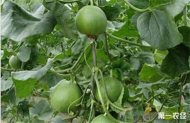 种植甜瓜出现早衰要如何去