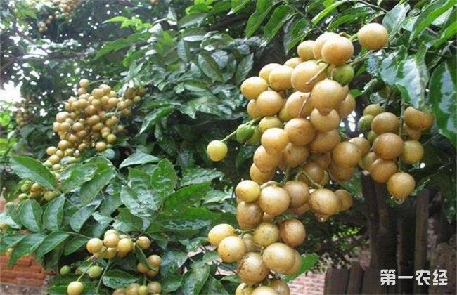 黄皮果出现黄叶要如何去预防