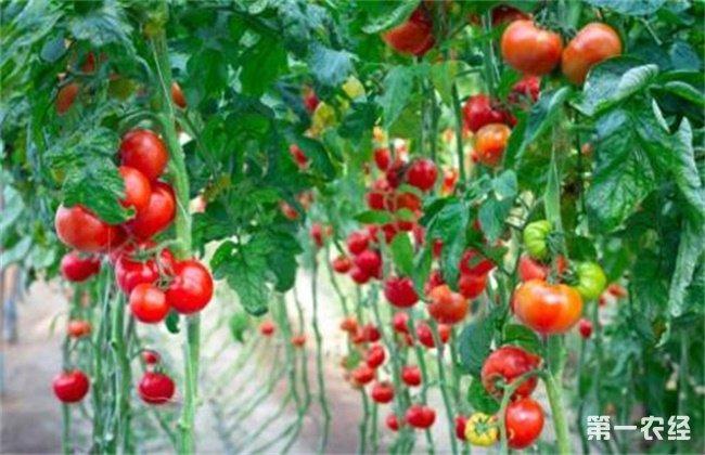西红柿长不大怎么办
