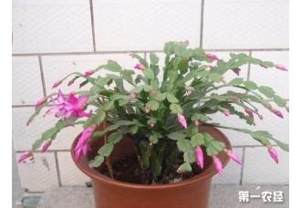蟹爪兰盆土加点料,年年都能开花很多层