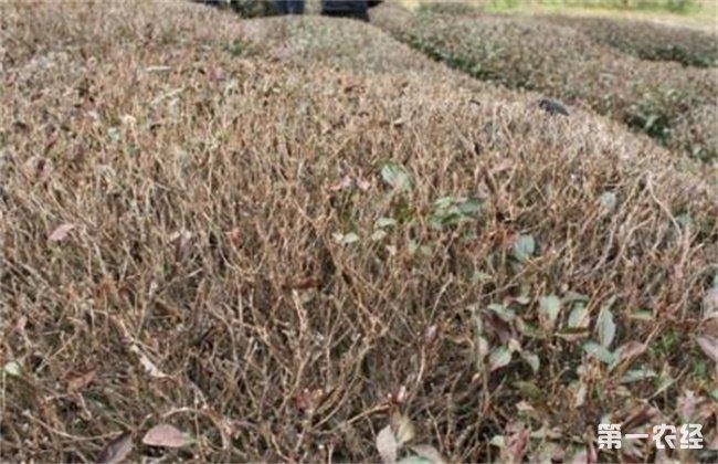 茶树冻害的补救措施