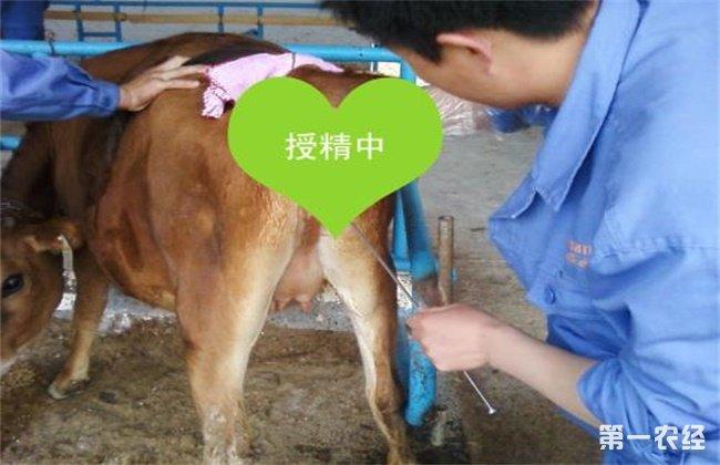 母牛配种时间及注意事项
