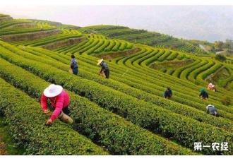 黄金茶的种植前景
