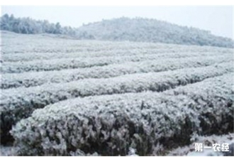 <b>茶树冻害的补救措施</b>