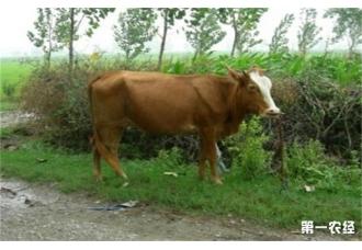 牛营养衰竭的症状及防治措施