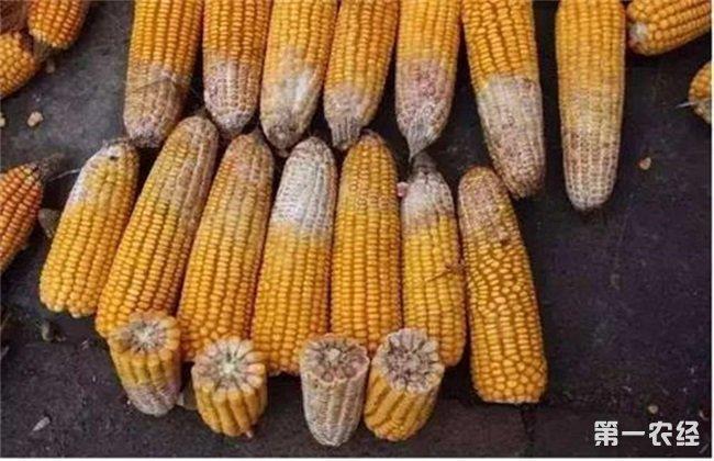 玉米穗腐病 防治方法 症状