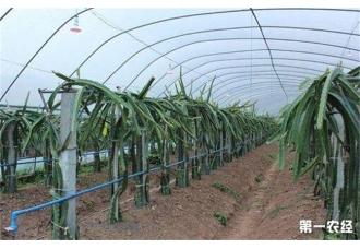 火龙果搭架种植有什么作用呢?