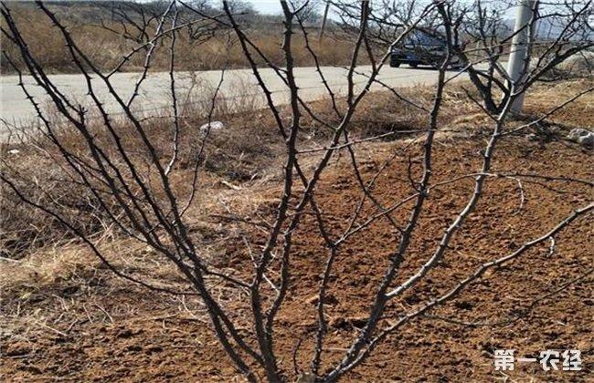 花椒树越冬 管理要点