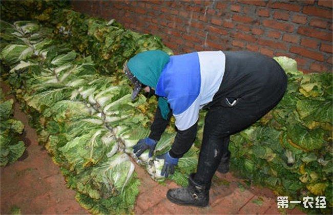 大白菜冬季窖藏管理方法