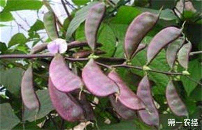 扁豆高产施肥技术