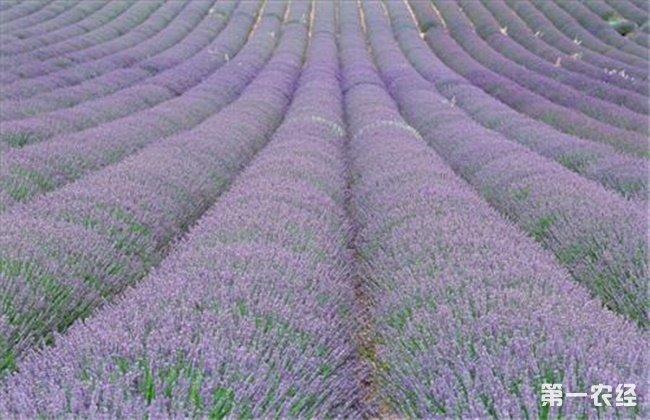 薰衣草怎么种植