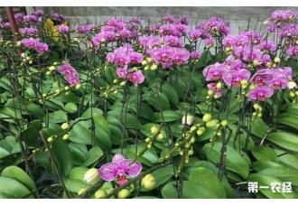 如何才能养好蝴蝶兰呢?