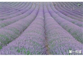 薰衣草种植的四大步骤