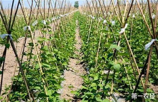 春季露地豆角种植技术
