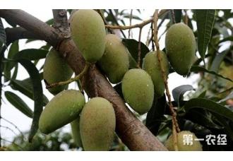 种植芒果出现病害要怎么去预防