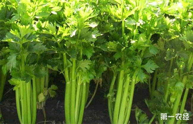 芹菜苗期 管理技术