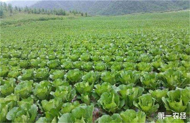 秋季大白菜苗期管理要点