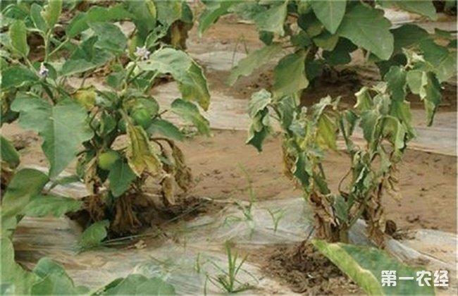 茄子苗期需要注意问题