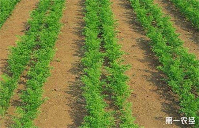 胡萝卜的育苗技术