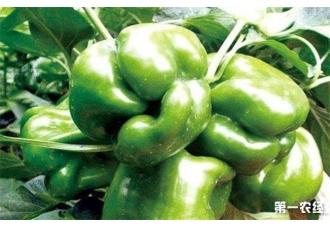 种植菜椒出现畸形果要怎么预防