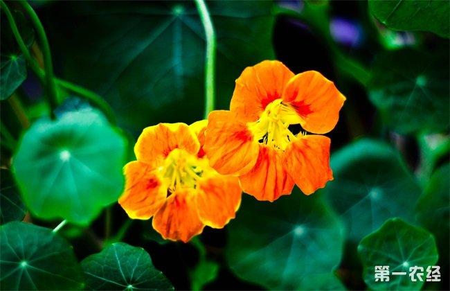 旱金莲种子种植方法 旱金莲