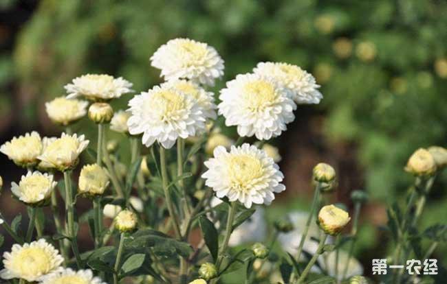 贡菊优质丰产栽培技术